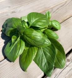 Organik Yeşil Fesleğen 1 Demet