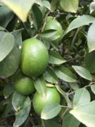 Taze Limon (mayer)